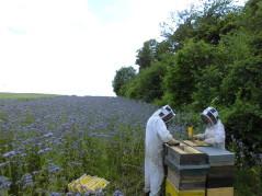 Miel récolté dans la Sarthe,  2019 est la première année où nos abeilles nous ont offert ce délicieux miel monoflorale, cela fait plusieurs années que nous mettons des ruches à cette emplacement mais d'habitude elles butinent du miel toutes fleurs, après